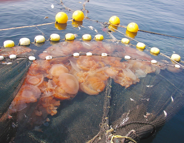 クラゲの画像 p1_37