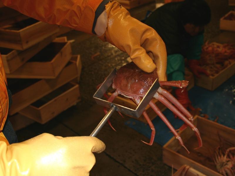 ズワイガニ甲幅検査の写真