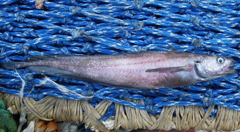 ロシア漁船が漁獲しているイトヒキダラ
